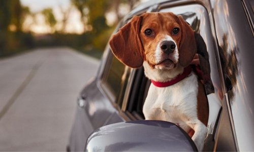 Driving With Pets: How To Maintain a Clean Car